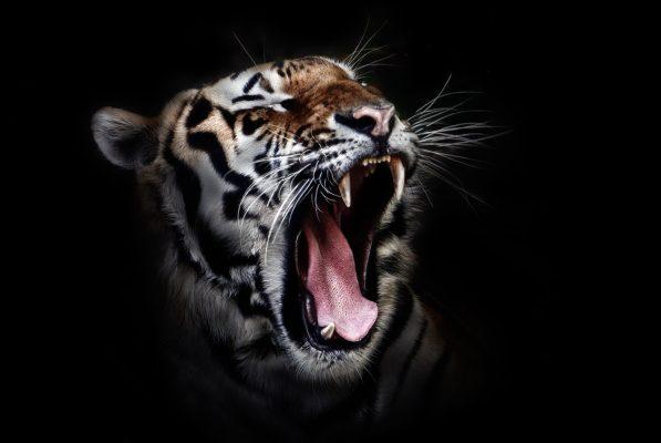 Tiger fans roar loud enough to damage human hearing
